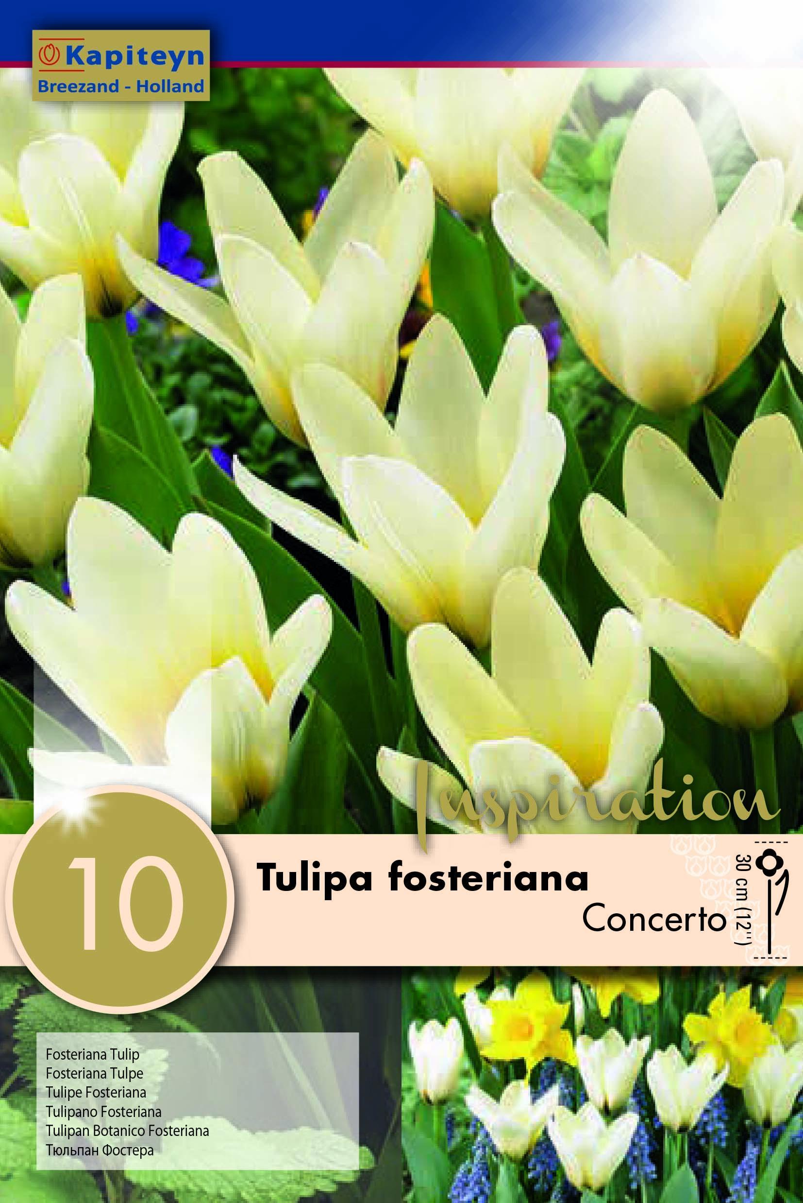 Лале Fosteriana Concerto 12/+ 10бр.