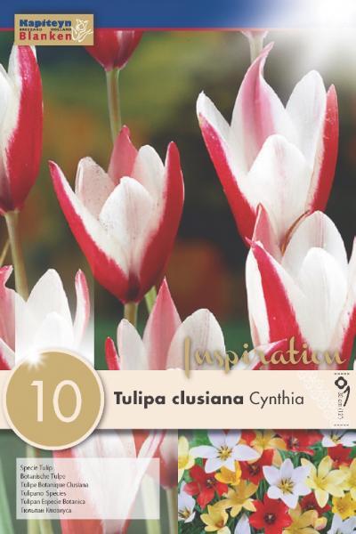 Лале SPECIE CLUSIANA CYNTHIA 5/6  10бр.