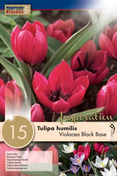 Лале SPECIE VIOLACEA BLACK BASE 6/+ 15бр.