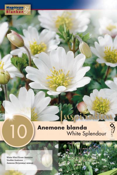 Анемоне BLANDA WHITE SPLENDOUR 5/+ 10 бр.