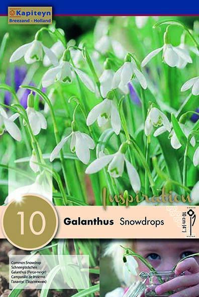 Кокиче SNOWDROPS 5/6 10бр.