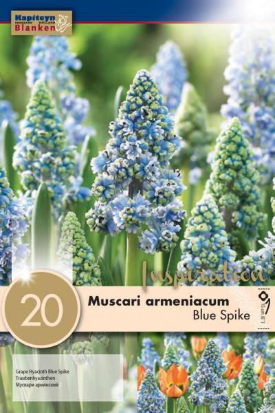 Мускари  Armeniacum blue spike 20бр 7/8