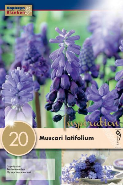 Мускари Latifolium 6/+ 20 бр.