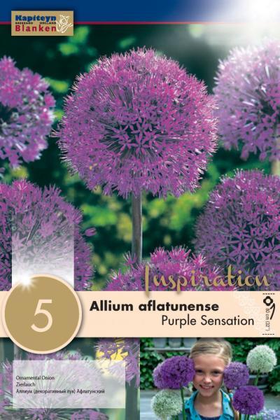 Алиум AFLATUNENSE  PURPLE 12/+ 5бр.