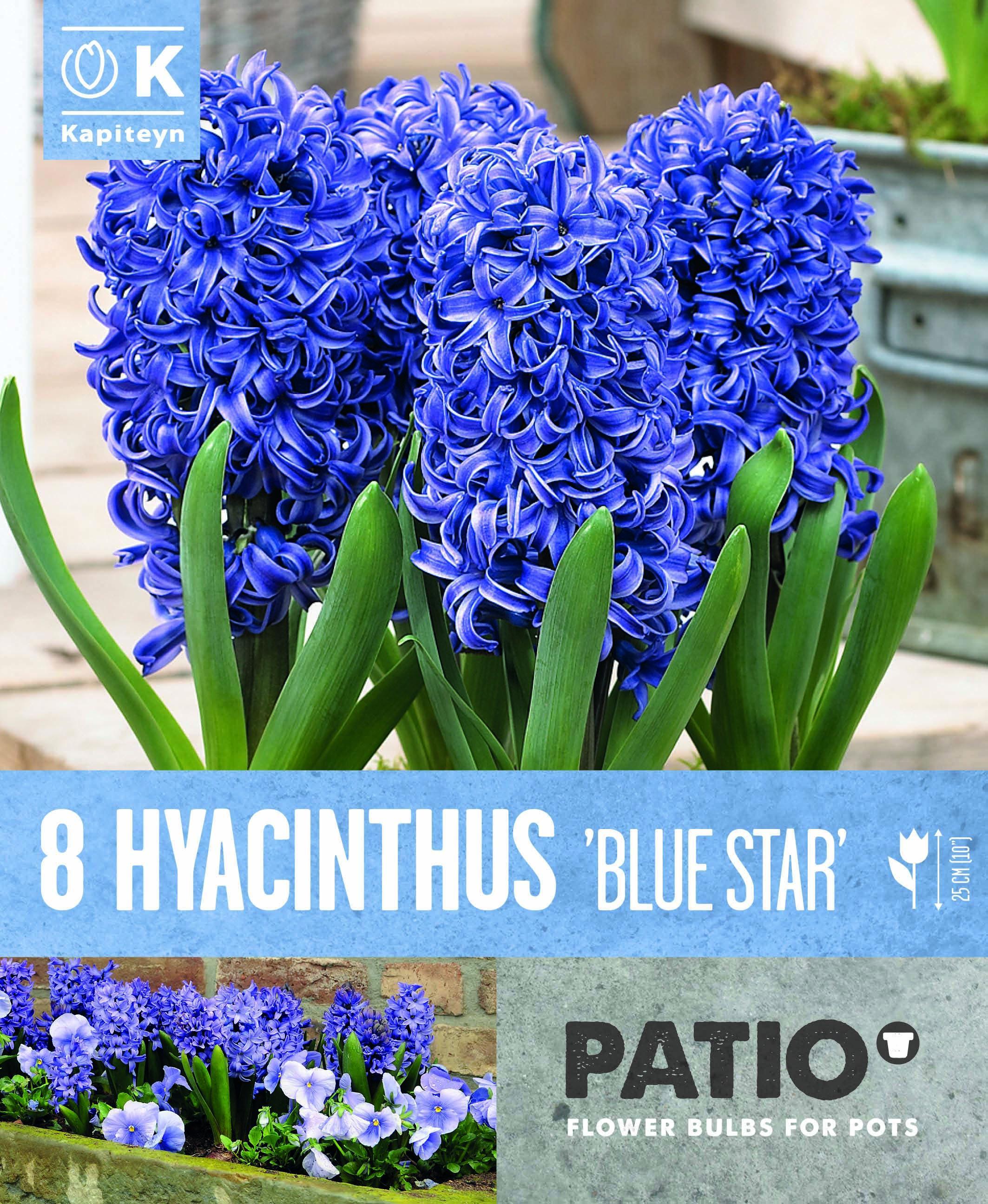 Балконски - Зюмбюл BLUE STAR 15-16 8 бр.