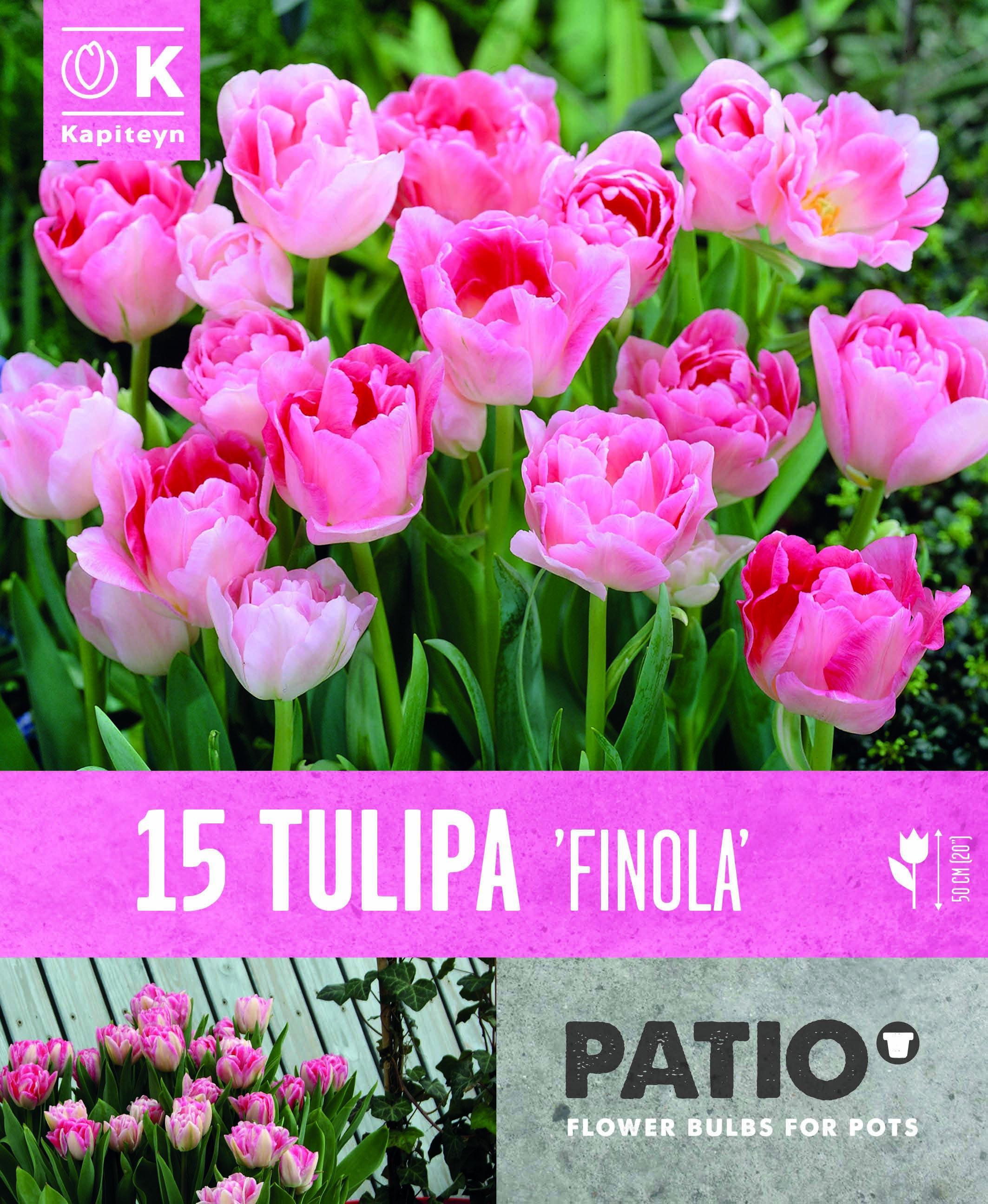 Балконски - Лале DOUBLE LATE FINOLA 11-12 15 бр.