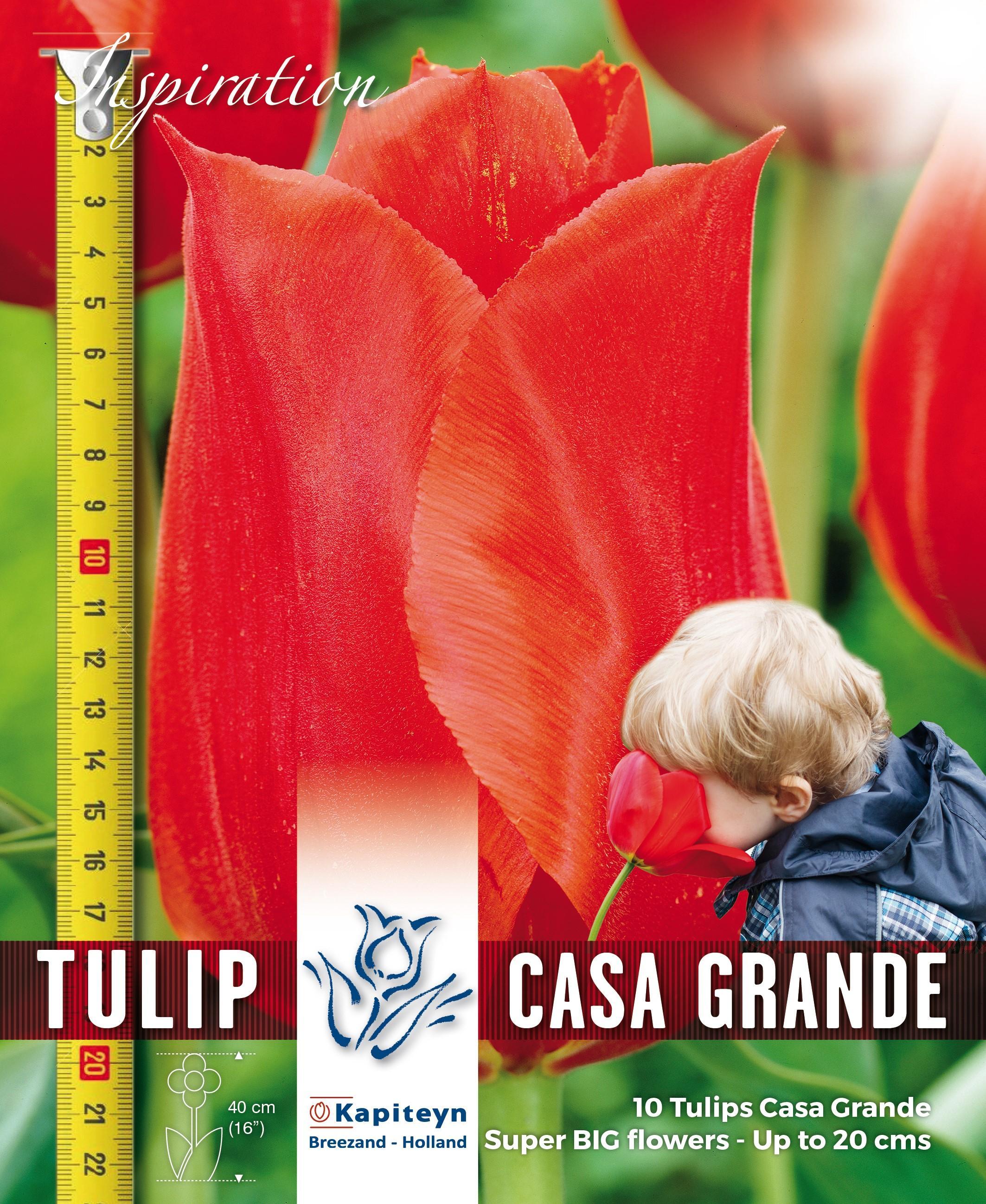 Лале CASA GRANDE - Giant Blooming 12/+ 10бр.