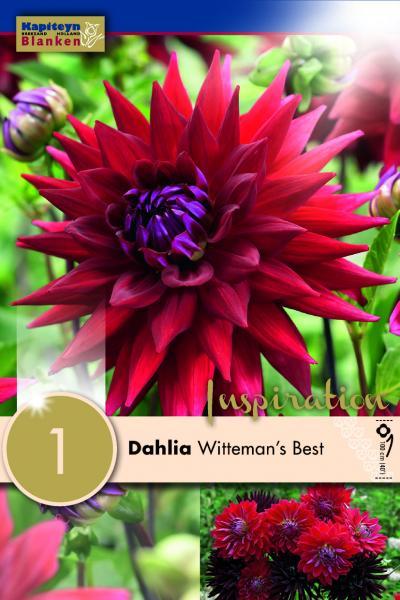Далия кактус Witteman's Best 1 бр.