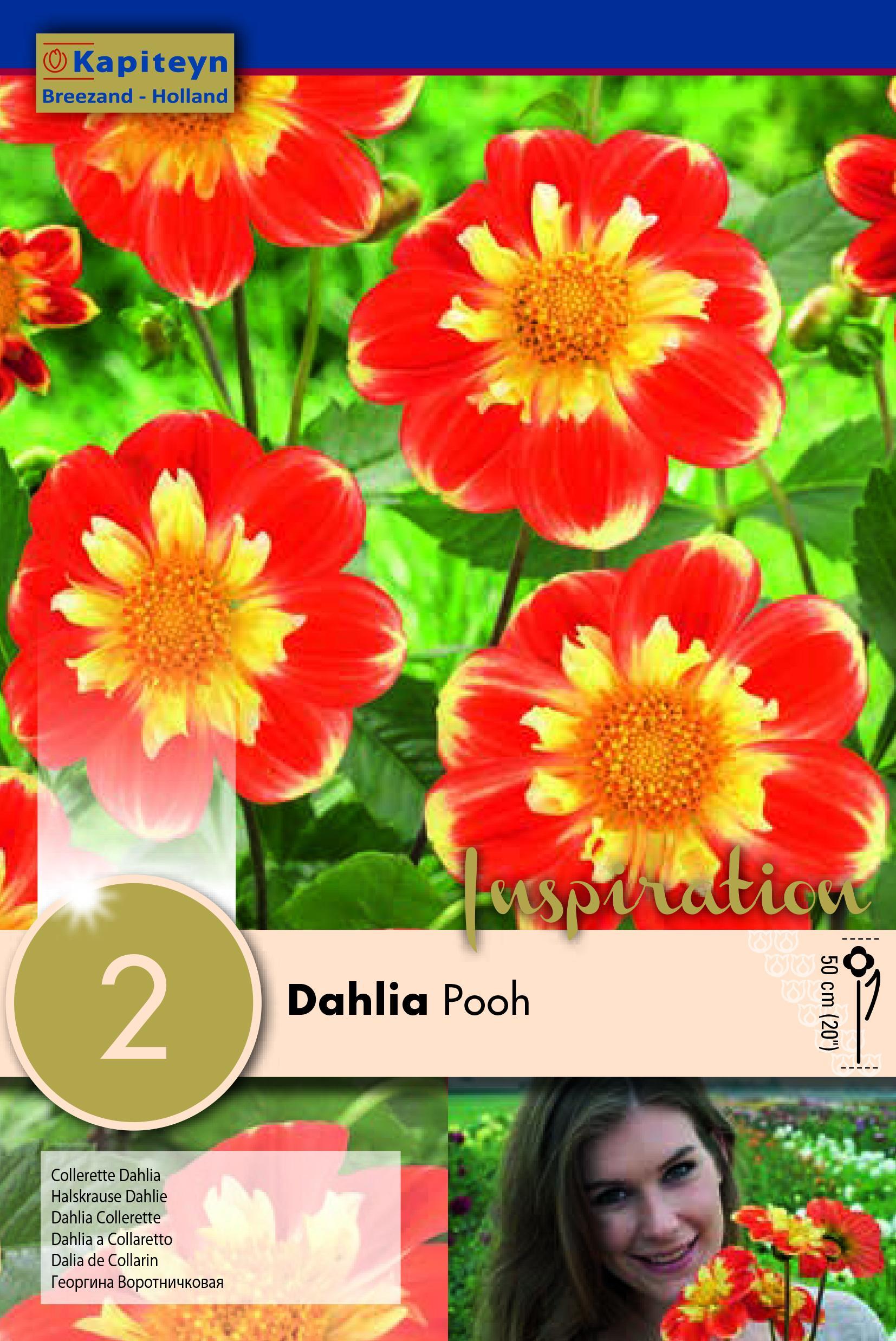 Далия Collerette Pooh 2бр.