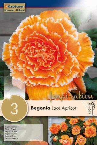 Бегония Lace Apricot 2бр. 5/6