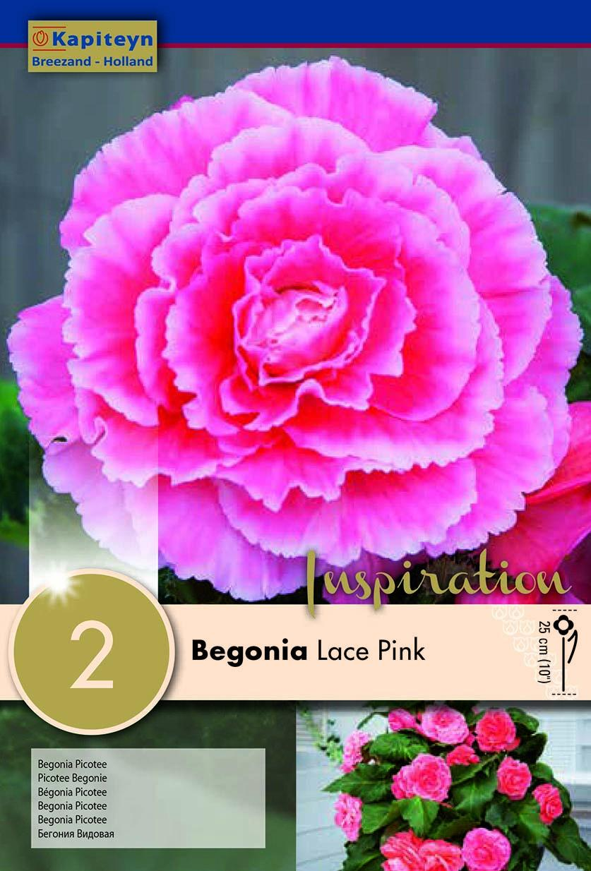 Бегония Picotee Pink Lace 2бр.