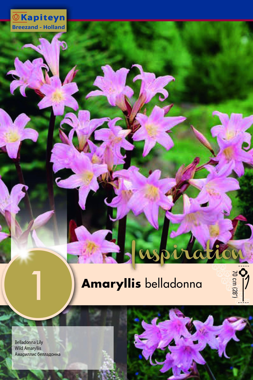 Амарилис belladonna 18/+ 1 бр