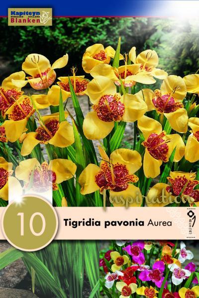 Тигридия Pavonia Aurea 10бр.