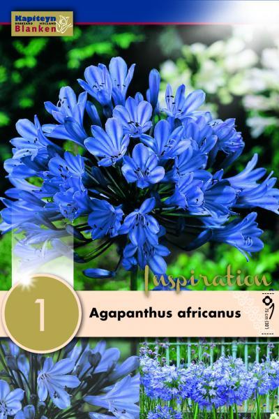 Агапантус Africanus 1 бр.