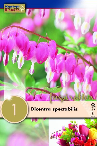 Дамско сърце - Dicentra spectabilis 1 бр.
