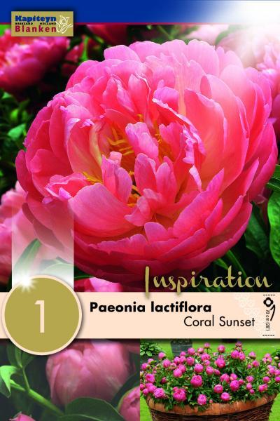 Божур -Paeonia  Lactiflora Coral Sunset 1бр.