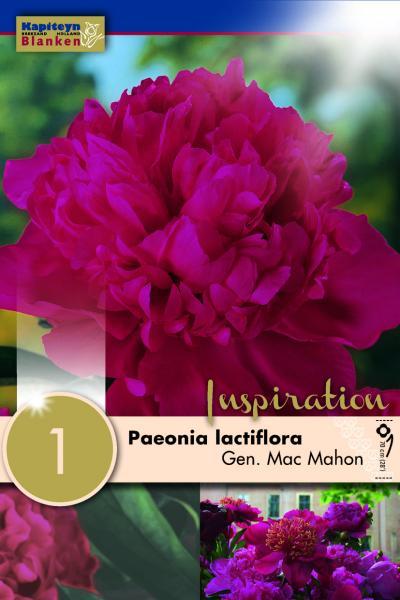 Божур -Paeonia Lactiflora Gen. Mac. Mahon 1бр.