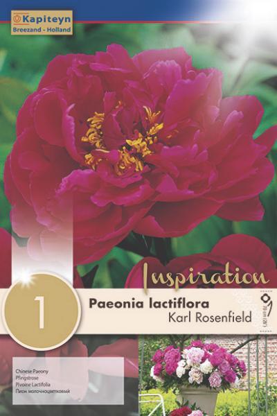 Божур - Paeonia Lactiflora Karl Rosenfield 1бр. 2/3