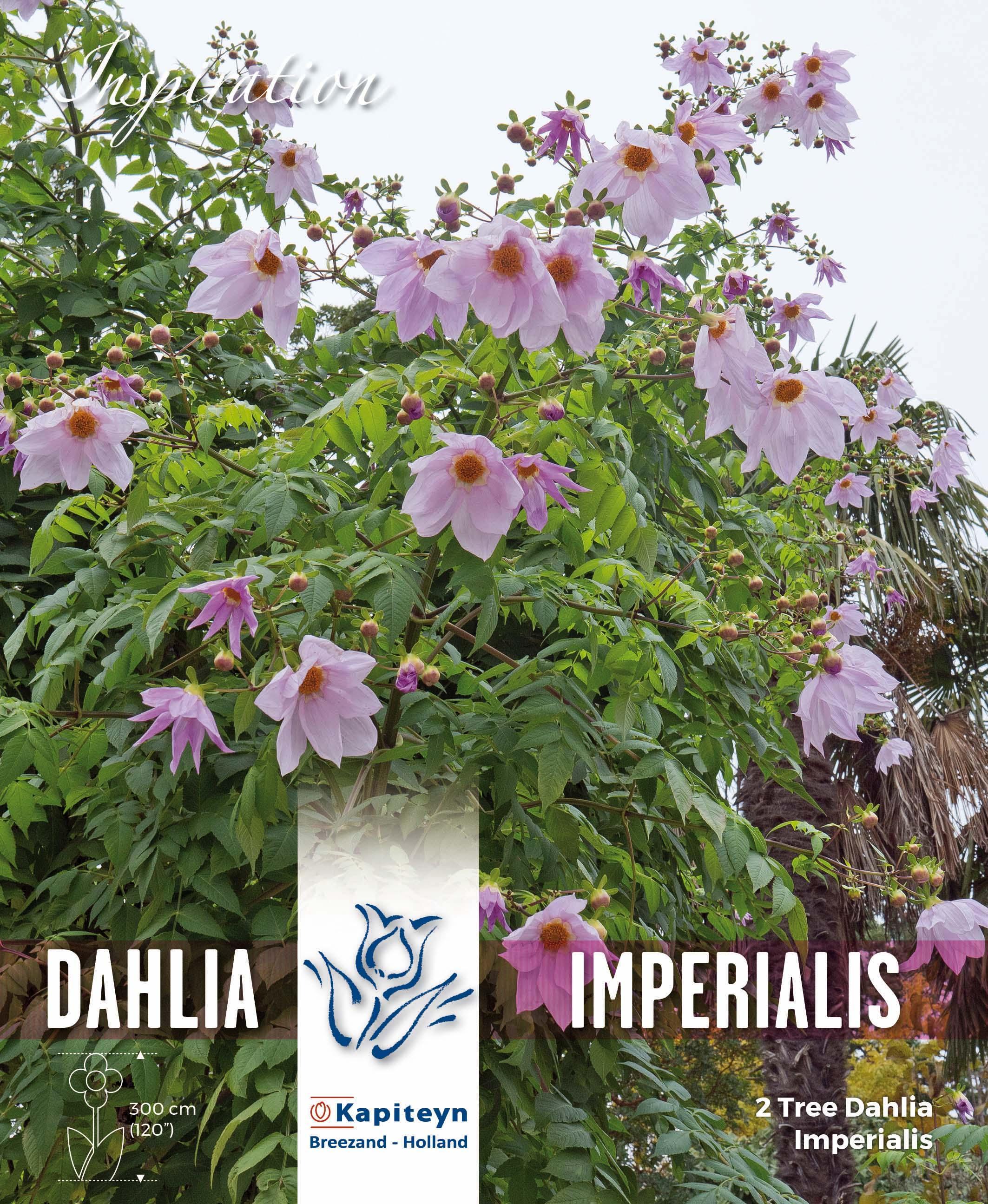 Дървовидна далия IMPERIALIS - розови цветове 2бр.