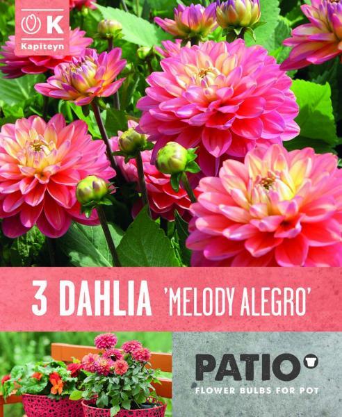 Балконски - Далия Melody Allegro 3бр