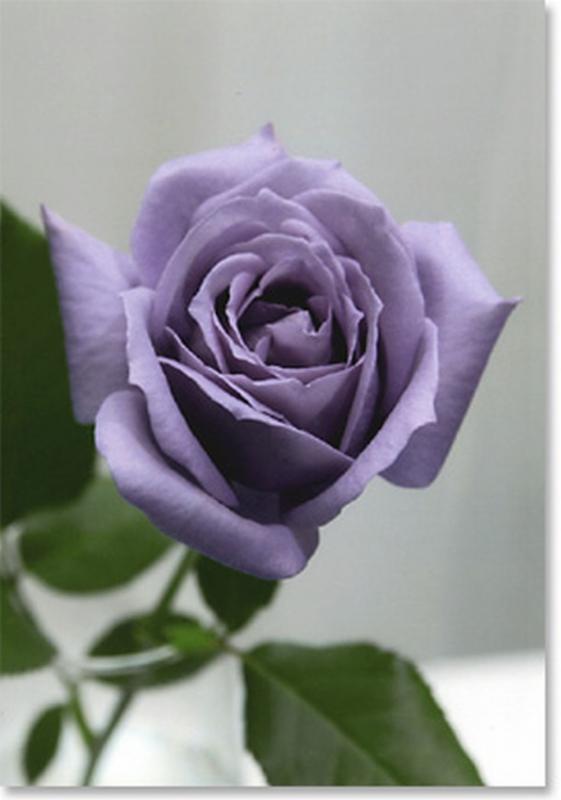 Рози Blue Sky