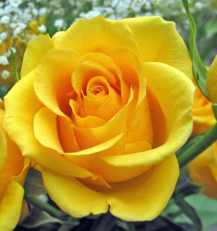 Рози Old Gold