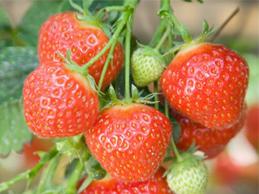 Ягода Strawberry Elsanta