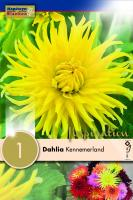 Далия кактус Kennemerland 1бр.