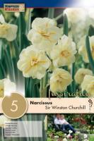 Нарцис SIR WINSTON CHURCHILL 14/16 5бр.
