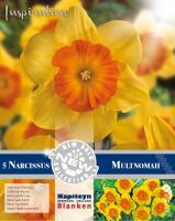NEW BULB Нарцис LARGE CUPPED MULTNOMAH 14/16