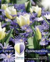 Комбинация анемоне синьо и бяло лале  23бр.