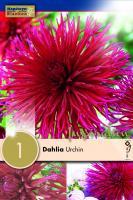 Далия кактус Urchin 1бр.