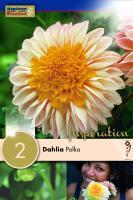 Далия anemone Polka 2 бр.