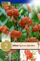 Лилиум tigrinum Spledens 2бр.