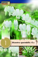 Дамско сърце - Dicentra spectabilis alba 1 бр.