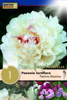 Божур - Paeonia Lactiflora Festiva Maxima 1 бр.