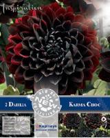 NEW bulbs Далия декоративна Karma choc 2бр.