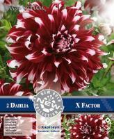NEW bulbs Далия декоративна  X-factor 2бр.
